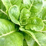 Hydroponic овощ: Cos (конец-вверх) Стоковое фото RF