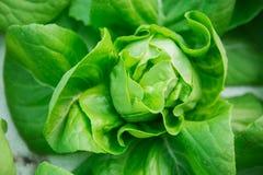 hydroponic органический овощ Стоковые Изображения RF