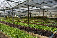 Hydroponic растущее овощей в ферме Стоковое фото RF