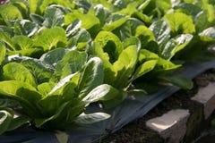 Hydroponic растущее овощей в ферме Стоковые Изображения