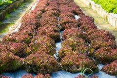 Hydroponic растущее овощей в ферме Стоковая Фотография RF