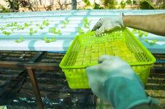 Hydroponic салаты в саде Таиланде Стоковое Фото
