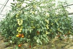 Hydroponic сельское хозяйство на исследовательской лабаратории исследования окружающей среды Университета Аризоны в Tucson, AZ Стоковое Изображение RF