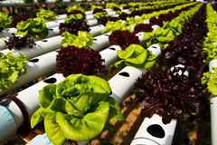 Hydroponic. Vegetable farm in Jim Thom Son farm, Thailand Royalty Free Stock Photo