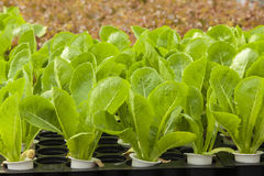 Hydroponic Royalty Free Stock Photos