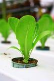 Hydroponic Aanplanting stock afbeeldingen