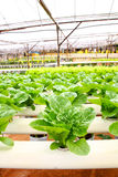 Hydroponic agriculture Stock Photo