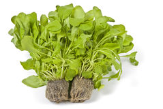 Hydroponic Arugula/Rocket Isolated on White Stock Images