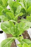Hydroponic butterhead lettuce. Stock Photography