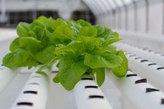 Hydroponic lettuce in a greenhouse stock photo