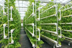 Hydroponic celery Stock Photography