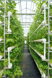 Hydroponic celery Royalty Free Stock Images