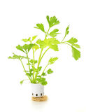 Hydroponic celery vegetable Stock Images