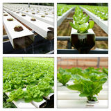 Hydroponic collage Royalty Free Stock Images