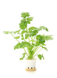 Hydroponic  coriander  vegetable Stock Photography