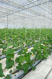 Hydroponic cultivation of cucumbers Stock Photo