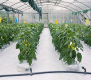 Hydroponic Cultivation Royalty Free Stock Photography