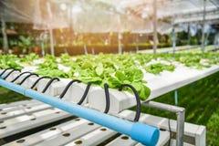 Hydroponic de salade van de systeem jonge plantaardige en verse groene botersla het groeien installaties van het tuin hydroponic  stock fotografie
