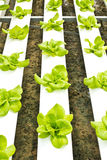 Hydroponic Farm Royalty Free Stock Photography