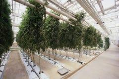 Hydroponic farm. Large plant in hydroponic farm Stock Image