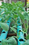 Hydroponic farm of chinese hale. In Chiangmai, Thailand Royalty Free Stock Photography
