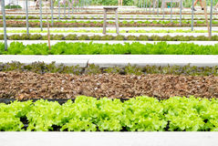 Hydroponic farm in greenhouse at Corofield, Suan Phueng, Ratchab Stock Photos
