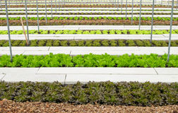 Hydroponic farm in greenhouse at Corofield, Suan Phueng, Ratchab Royalty Free Stock Images