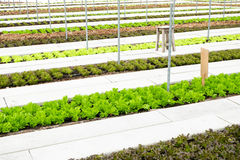 Hydroponic farm in greenhouse at Corofield, Suan Phueng, Ratchab Royalty Free Stock Photos