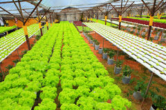 Hydroponic. The hydroponic farm for health royalty free stock photography