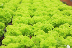 Vegetable. The hydroponic farm for health stock images