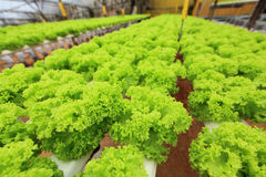 Hydroponic farm. The hydroponic farm for health royalty free stock photos