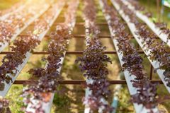 Hydroponic farm Red oak vegetables in plantation greenhouse royalty free stock photos