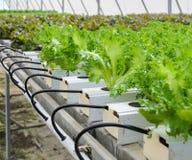 Hydroponic Fillie Iceburg leaf lettuce vegetables plantation in Stock Images
