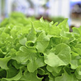Hydroponic fresh green lettuce vegetable Stock Photography