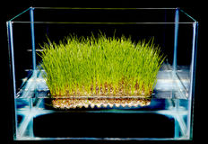 Hydroponic gardening grass Royalty Free Stock Image