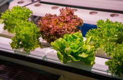 Hydroponic Gardening. Vertical hydroponic gardening soilless system stock photography