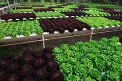 hydroponic grönsak Royaltyfria Bilder