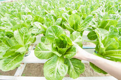 Hydroponic grönsak Arkivfoto