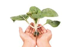 Hydroponic grönsak Arkivbilder