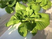 Hydroponic grönsak fotografering för bildbyråer