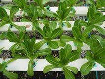 Hydroponic grönsak i lantgården arkivbild