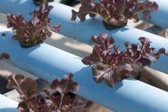 Hydroponic grönsaker Arkivfoto
