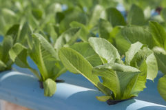 Hydroponic grönsaker Fotografering för Bildbyråer