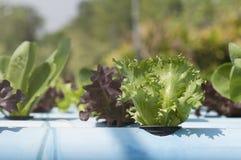 Hydroponic grönsaker Royaltyfri Fotografi