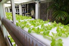 Hydroponic grönsaker på det inomhus arkivbilder