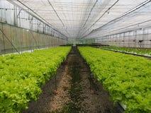 Hydroponic grönsaklantgård royaltyfri foto