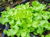 Hydroponic green oak leaf lettuce Stock Photo