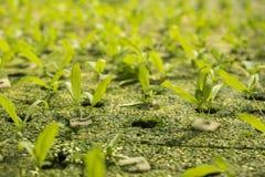 Hydroponic greenland. Seedling of  chrysanthemum coronarium linn by hydroponic method in green house Stock Photos