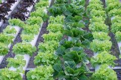 Hydroponic grönsaker Arkivfoton