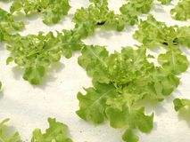 Hydroponic groene groente in hydroponic landbouwbedrijf Stock Foto's